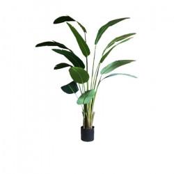 Traveller's Palm H210