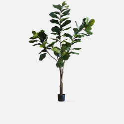 Fiddle-leaf Fig H220