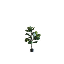 Fiddle-leaf Fig H100