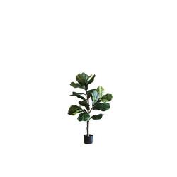 Fiddle-leaf Fig H100