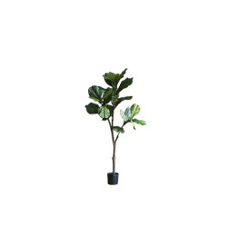 Fiddle-leaf Fig H130