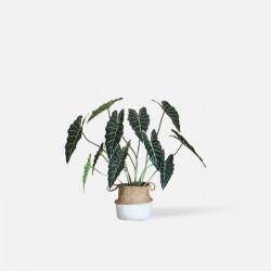 Monstera Deliciosa Plant, H80